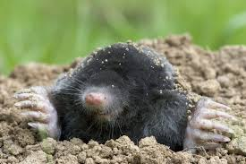 How To Get Rid Of Moles In The Backyard by Getting Rid Of Moles In Your Client U0027s Yard