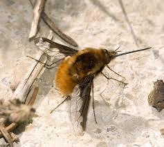 bombyliidae wikipedia