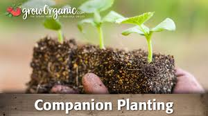 using companion planting to improve your garden youtube