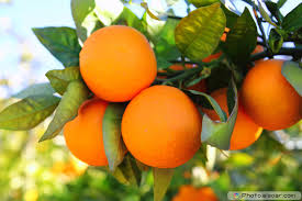 25 fruit trees names with pictures elsoar
