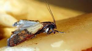 larven in der k che vorratsschädlinge lebensmittelmotten wirksam bekämpfen