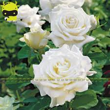 online buy wholesale white climbing roses from china white
