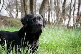 afghan hound and labrador retriever 6 dog breeds with an exceptional sense of smell u2013 iheartdogs com