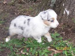 australian shepherd dog for sale austrailian shepherd leitchfield photo album topix