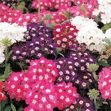 verbena flower 100 mixed colors verbena hortensis flower seeds