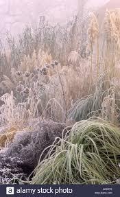 rhs wisley surrey border of ornamental grasses in hoar