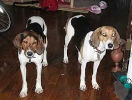 bluetick coonhound climbing tree treeing walker coonhound dog breed information and pictures