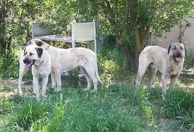 sims 3 australian shepherd template turkish dogs particularly anatolian shepherd dogs july 2006
