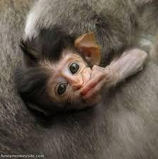 the 25 best monkeys ideas on monkey pics