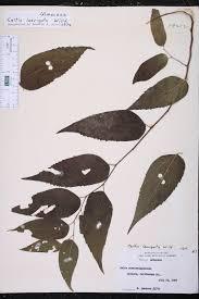 native plants of arkansas celtis laevigata species page isb atlas of florida plants