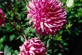 Picture Of Mums The Flowers - sunlight requirements for hardy mums home guides sf gate