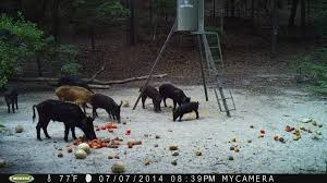 Georgia wildlife tours images Georgia hog hunts russian wild boar hunting night hog hunting jpg