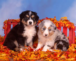 d b australian shepherds australian shepherd animal stock photos kimballstock