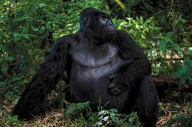 Gorilla by Silverback Gorilla Safari In Virunga National Park Congo Africa