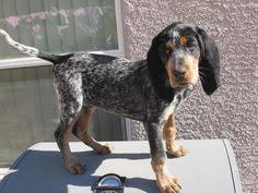bluetick coonhound rabbit hunting red tick coonhound bluetick coonhound boykin spaniel and redbone