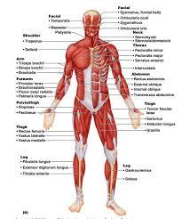 triceps muscle anatomy choice image learn human anatomy image