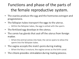 The Anatomy Of The Male Reproductive System How Do The Male And Female Reproductive Systems Function Ppt