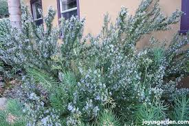 what everyone should about growing rosemary