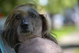 Ugliest Is Idaho Dog With U0027donald Trump U0027 Hair The World U0027s Ugliest Dog Kboi