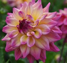dahlias flowers amazing dahlia flower farm tour hometalk