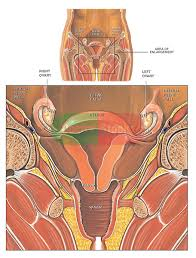 Anatomy Of The Female Reproductive System Pictures Anatomy Of The Female Reproductive System Front Cut Away View