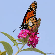 Monarch Migration Map Monarch Butterflies In The Pacific Northwest Home Facebook