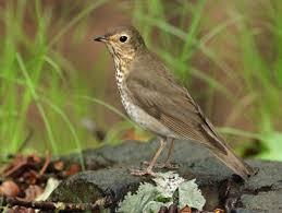 Nj Backyard Birds by Wood Thrush Identification All About Birds Cornell Lab Of