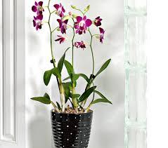 dendrobium orchids dendrobium orchid