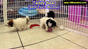 puppies indiana teddy puppies for sale in indianapolis indiana in