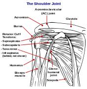 Human Shoulder Diagram Humerus Wikipedia