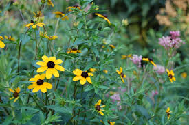 black eyed susan u0027s big sister provides color in shade u2013 gardeninacity