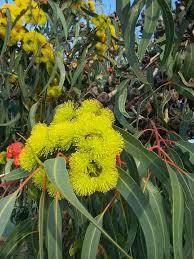 1205 best eucalyptus trees images on australian