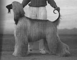 owning an afghan hound afghan hound academy articles karen wagner interview