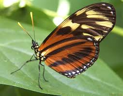tiger longwing butterfly heliconius hecale