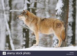 eastern timber wolf canis lupus lycaon side view standing