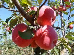 Ackee Fruit Tree - 100pcs bonsai fruit tree seeds apple seeds high fiber vegetables