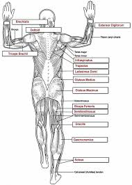 Human Anatomy Muscle Muscles Key Muscles Pinterest Muscles Key And Anatomy