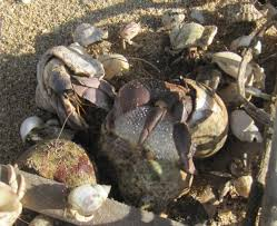 Halloween Hermit Crab by Breeding Hermit Crabs In Captivity