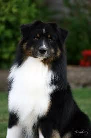 australian shepherd tri 61 best images about australian shepherd on pinterest beautiful