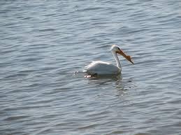 salton sea bird species