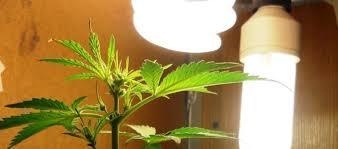 cfl grow lights for indoor plants using cfls to grow autoflowers