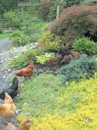 Chickens Backyard Free Range Chicken Gardens How To Create A Beautiful Chicken