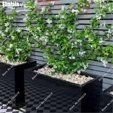 italian seeds home garden climbing plants purifying air