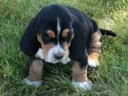 afghan hound adoption florida basset hound puppies in idaho