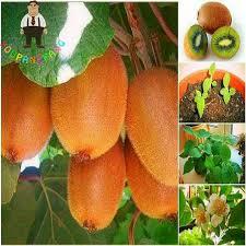 il cortile re il re dei frutti giallo kiwi semi di piante da giardino cortile