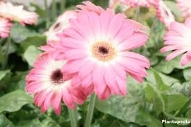 most popular flowers gerbera daisy in pots cultivation how to grow from seeds and