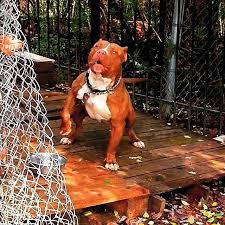 l american pitbull terrier a p b t great dog breeds american pit bull terrier