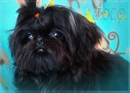 affenpinscher adults for sale iron butterfly chinese imperial shih tzu tiny teacup puppies for