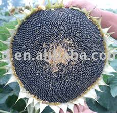 black oil sunflower seed black oil sunflower seed suppliers and