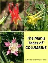 columbine plant columbine flower home garden